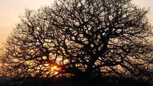 Barren Oak Tree in Spring
