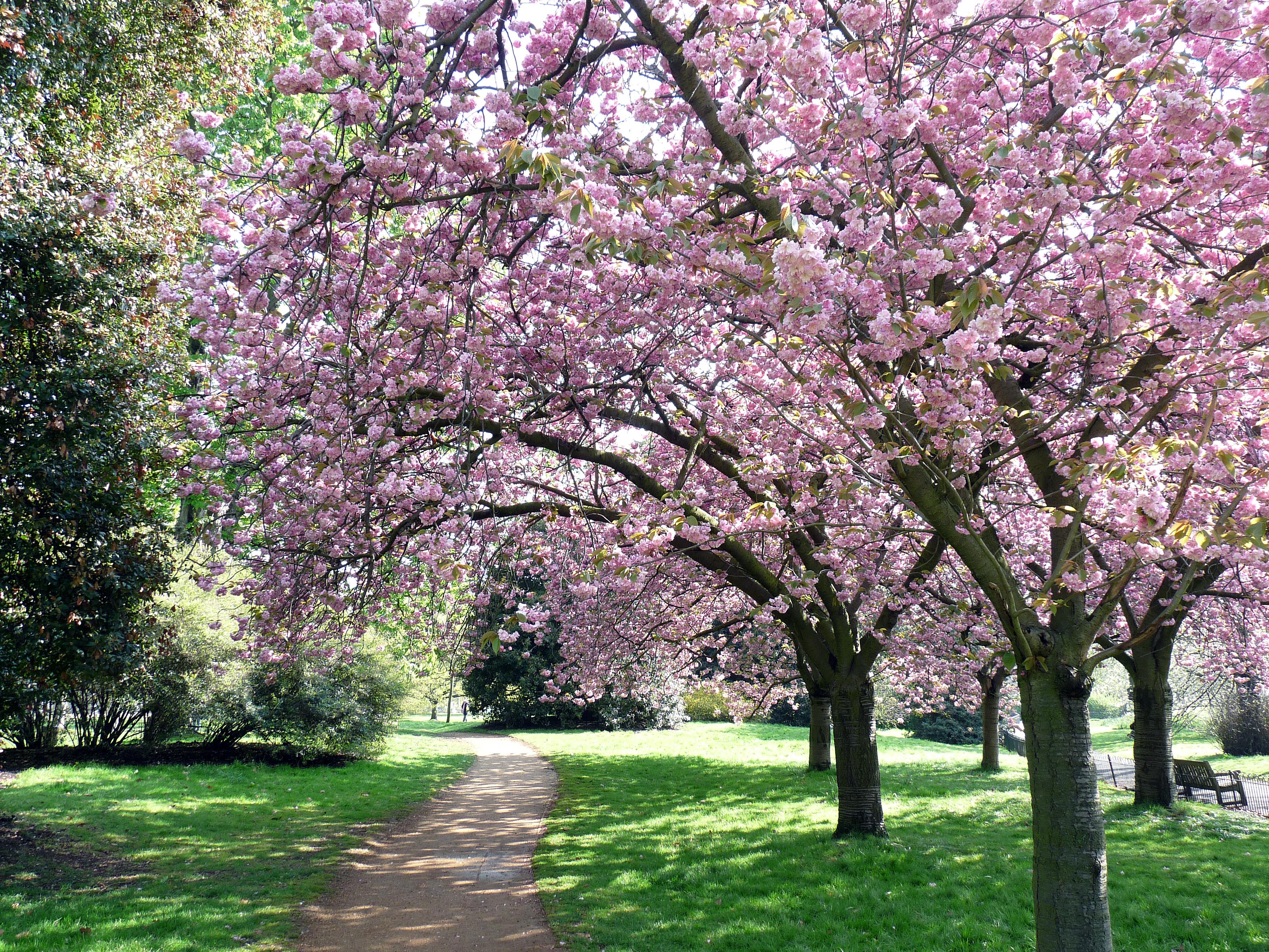 Japanese Garden Cherry Blossom Paintings japanese garden cherry blossom paintings - magiel