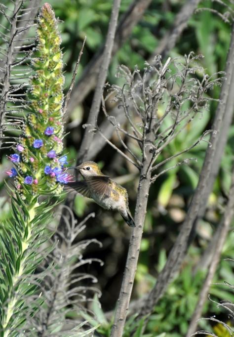 humming bird 4