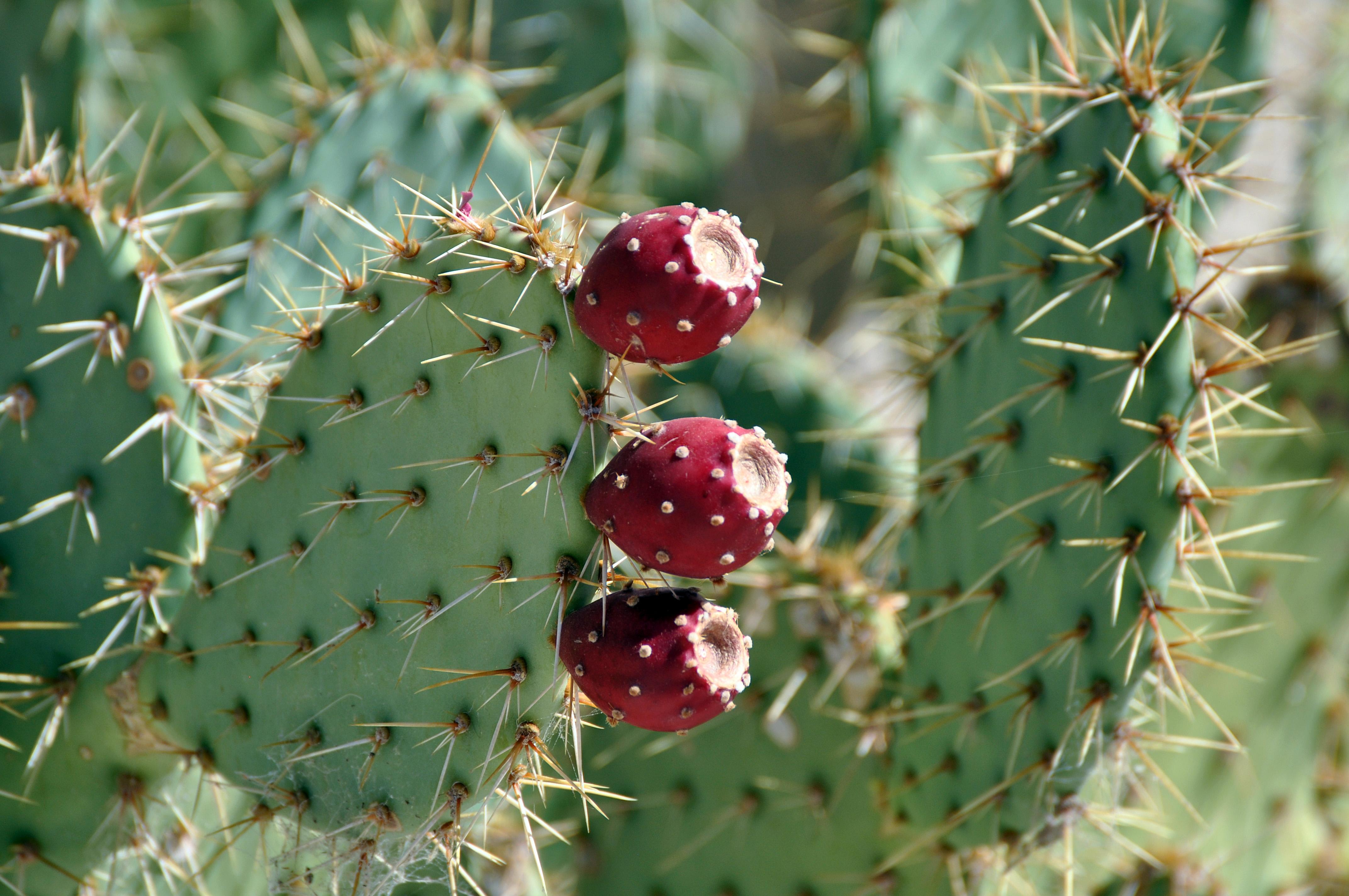 Prickly Pear | derwentvalleyphotography
