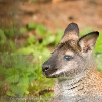 Skippy the Bush Kangaroo, although I think this is a wallaby