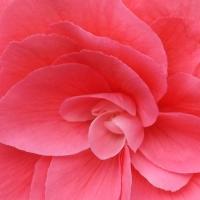 Pink Begonia.